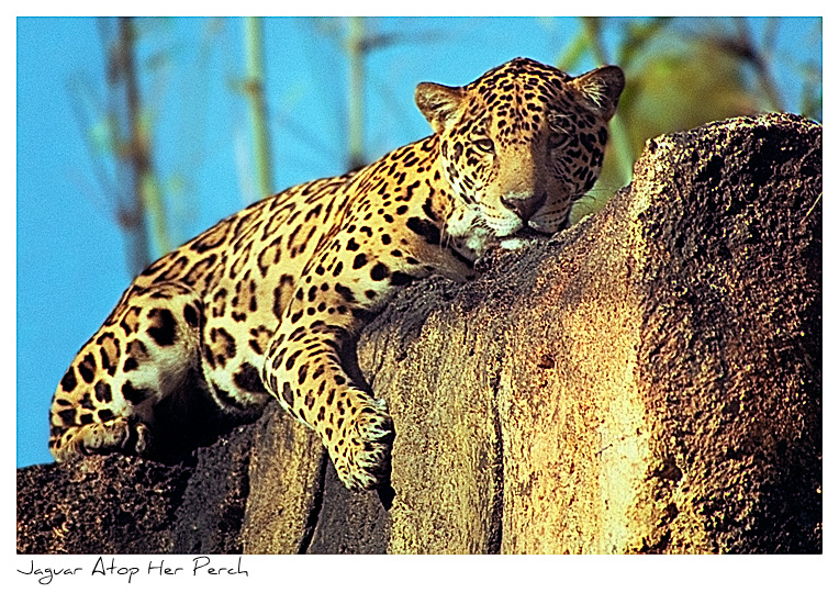 Click to purchase: Jaguar Atop Her Perch
