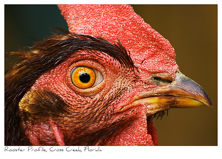 Click to purchase: Rooster Profile, Cross Creek, Florida